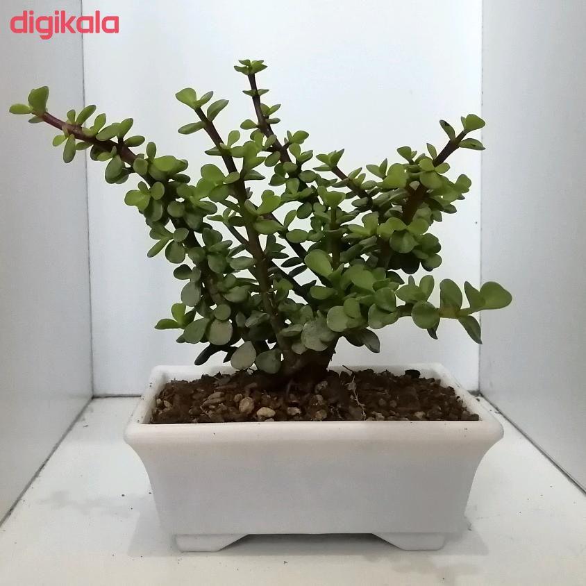 گیاه طبیعی خرفه ای کد qq14 main 1 3