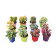 گیاه طبیعی کاکتوس و ساکولنت آیدین کاکتوس کد CB-009 بسته 12 عددی thumb 2