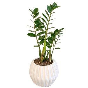گیاه طبیعی زامیفولیا گل گیفت کد GP005