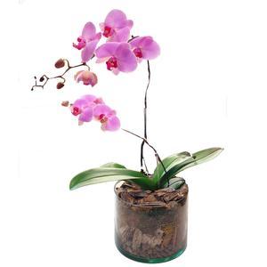 گیاه طبیعی ارکیده صورتی گل گیفت کد GP009