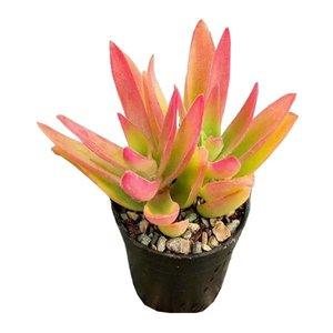 گیاه طبیعی کراسولا آتشین کد AMS03
