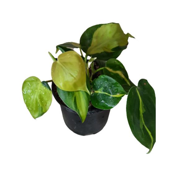 گل طبیعی اسکاندیس ابلقکد Skandisa01