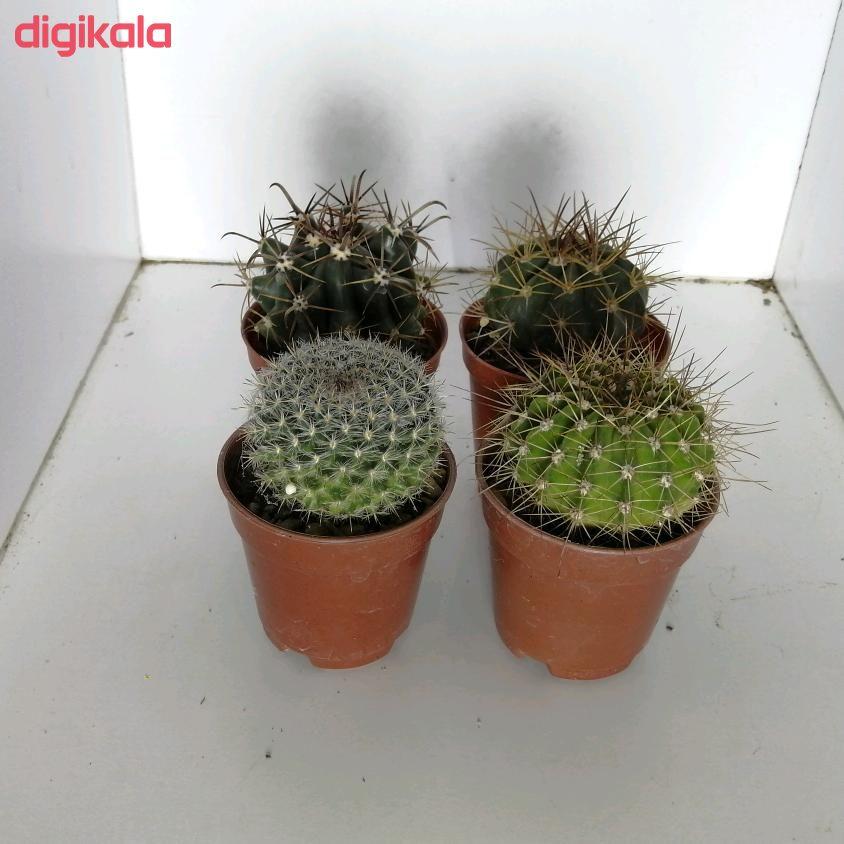 گیاه طبیعی کاکتوس کد qq09مجموعه چهار عددی main 1 1