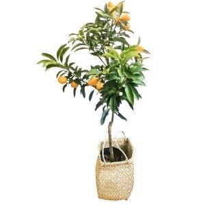 گیاه طبیعی کامکوات مدل B-10