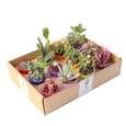 گیاه طبیعی کاکتوس و ساکولنت آیدین کاکتوس کد CB-004 بسته 12 عددی thumb 3