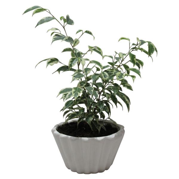 گیاه طبیعی بنژامین کد AB - M01