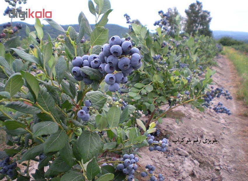 بذر میوه بلوبری بلوکراپ مدل 001 main 1 3