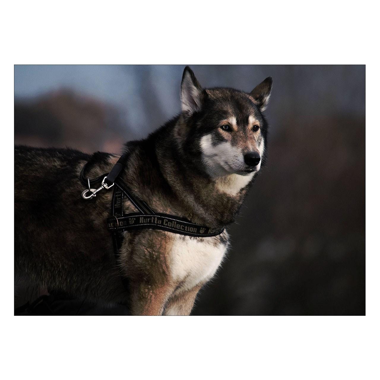 تابلو شاسی ونسونی طرح Siberian Husky سایز 50x70 سانتی متر