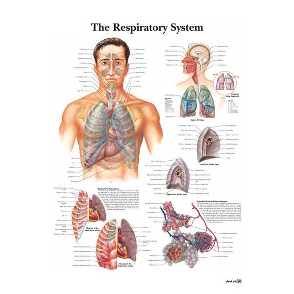 پوستر آموزشی چاپ پارسیان طرح آناتومی بدن انسان مدل THE RESPIRATORY SYSTEM 017
