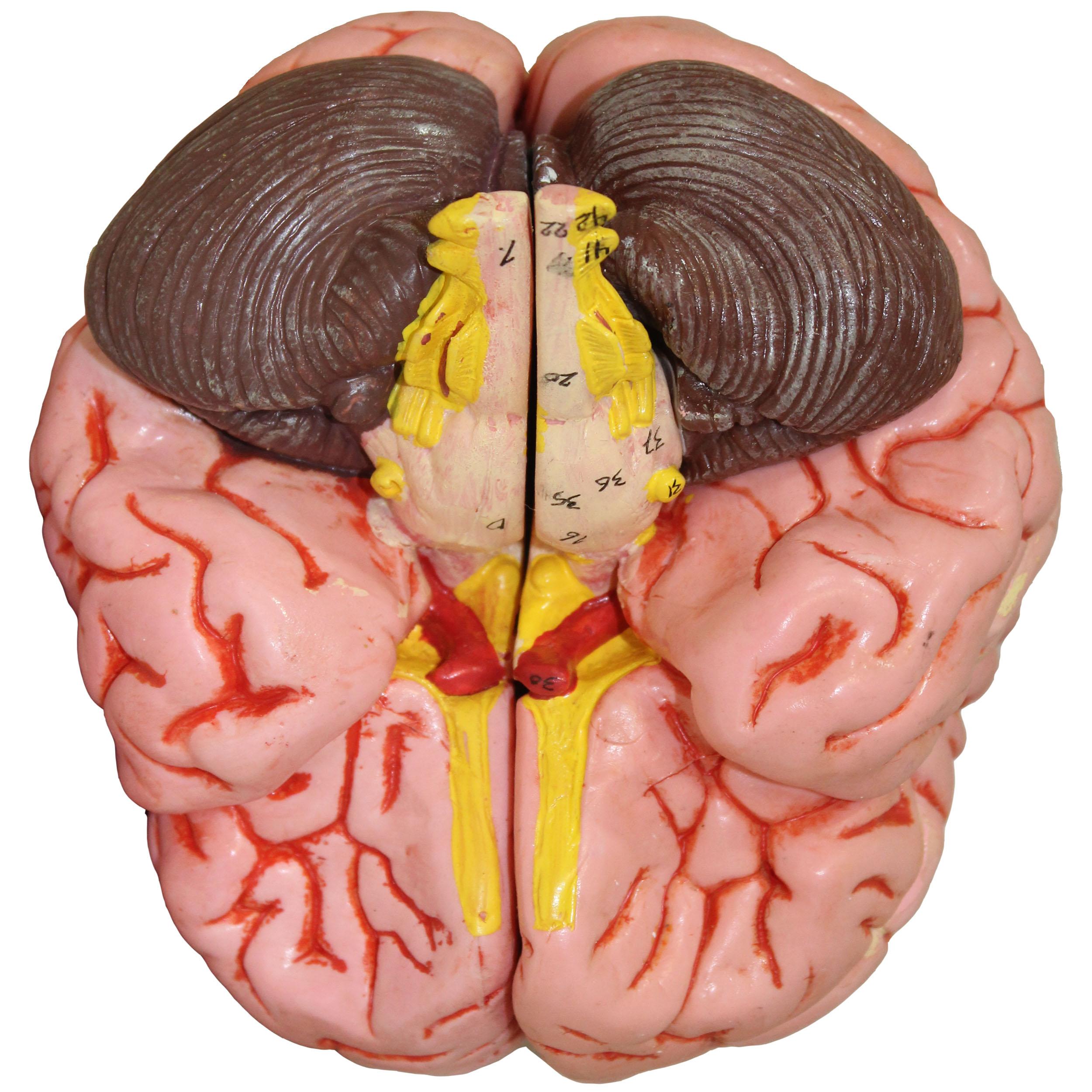 بازی آموزشی طرح آناتومی مغز انسان کد 18