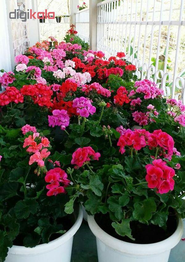 بذر گل شمعدانی پاکوتاه الوان آذر سبزینه مدل N76 main 1 2