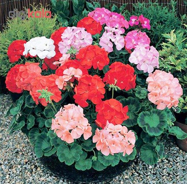 بذر گل شمعدانی پاکوتاه الوان آذر سبزینه مدل N76 main 1 3