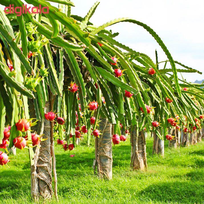 بذر میوه دراگون فروت سفید وانیا سید مدل V43 main 1 4