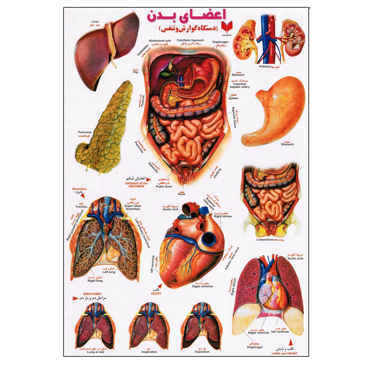 برچسب مدل اعضای بدن کد 637