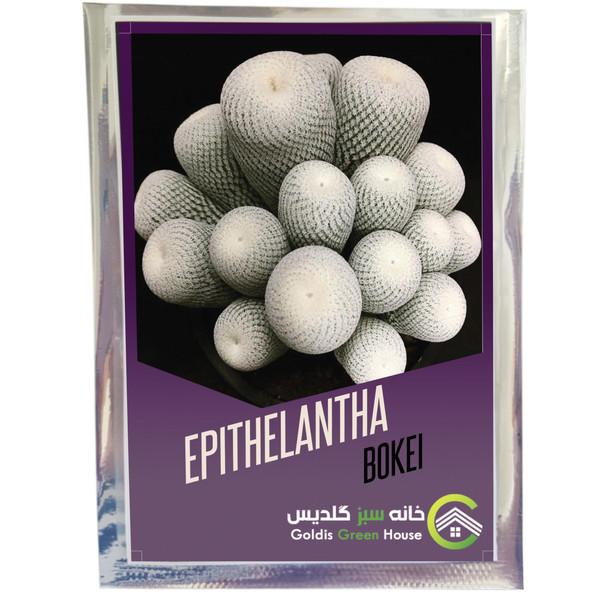 بذر اپیتلانتا بوکئی خانه سبز گلدیس کد 2395 بسته 10 عددی