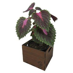 گیاه طبیعی حسن یوسف ناردونه کد  S - M01