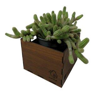 گیاه طبیعی کاکتوس ماری ناردونه کد M01