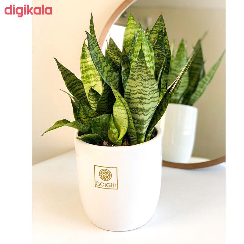 گیاه طبیعی سانسوریا کراواتی سبز گل گیفت کد GP002 main 1 2