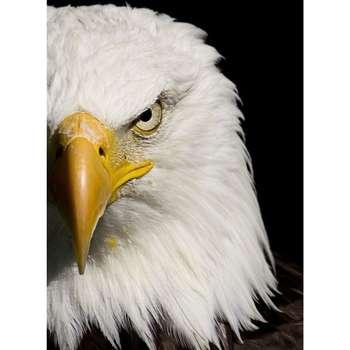 تابلو شاسی طرح پرنده عقاب مدل T1450