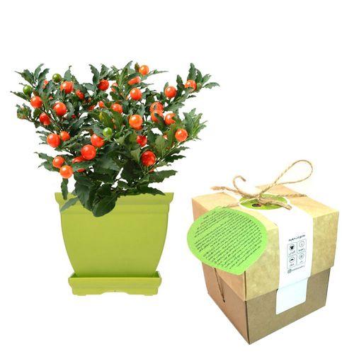 مجموعه کاشت گلدونه گیاه فلفل زینتی گیلاسی