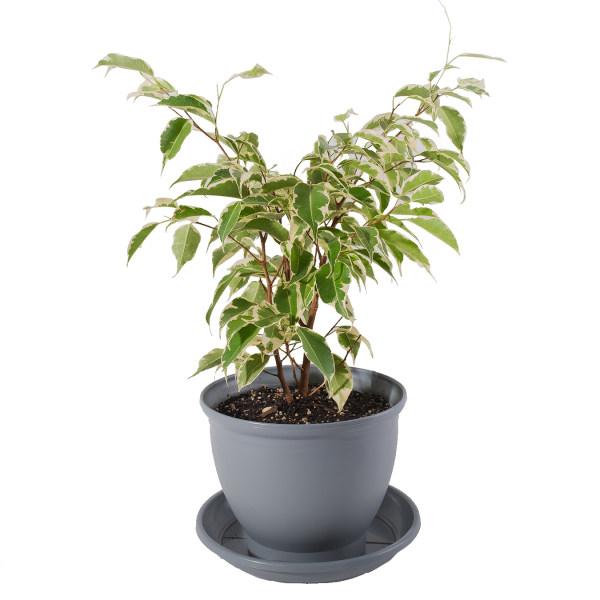 گیاه طبیعی بنجامین مدل P-03