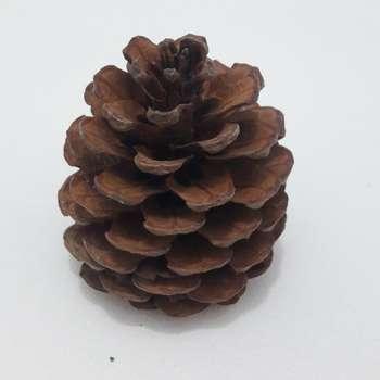 میوه تزیینی کاج مدل pine cone 1