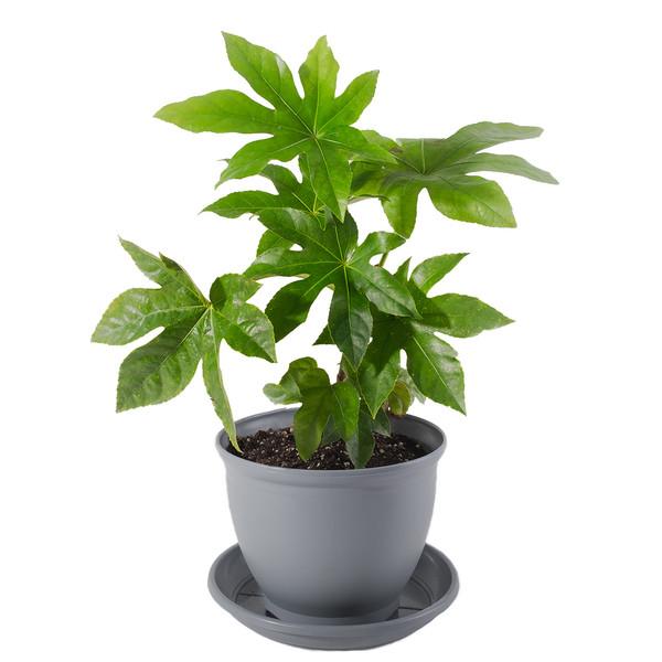 گیاه طبیعی آرالیا مدل P-18
