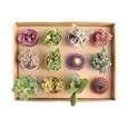 گیاه طبیعی کاکتوس و ساکولنت آیدین کاکتوس کد CB-004 بسته 12 عددی thumb 5