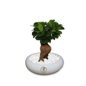 گیاه طبیعی بونسای فیکوس جینسینگ ، رتوزا گلباران سبز گیلان مدل GNB1-FG1