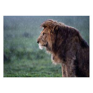 تابلو شاسی ونسونی طرح Lion Under The Rain سایز 30 × 40 سانتی متر