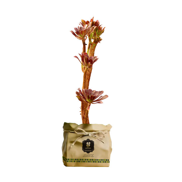 گیاه طبیعی آئونیوم گل ناز بشقابی پا بلند گلباران سبز گیلان مدل GN12-27AK