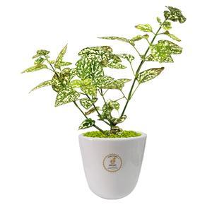 گیاه طبیعی گل سنگ گلباران سبز گیلان مدل GN13-29S