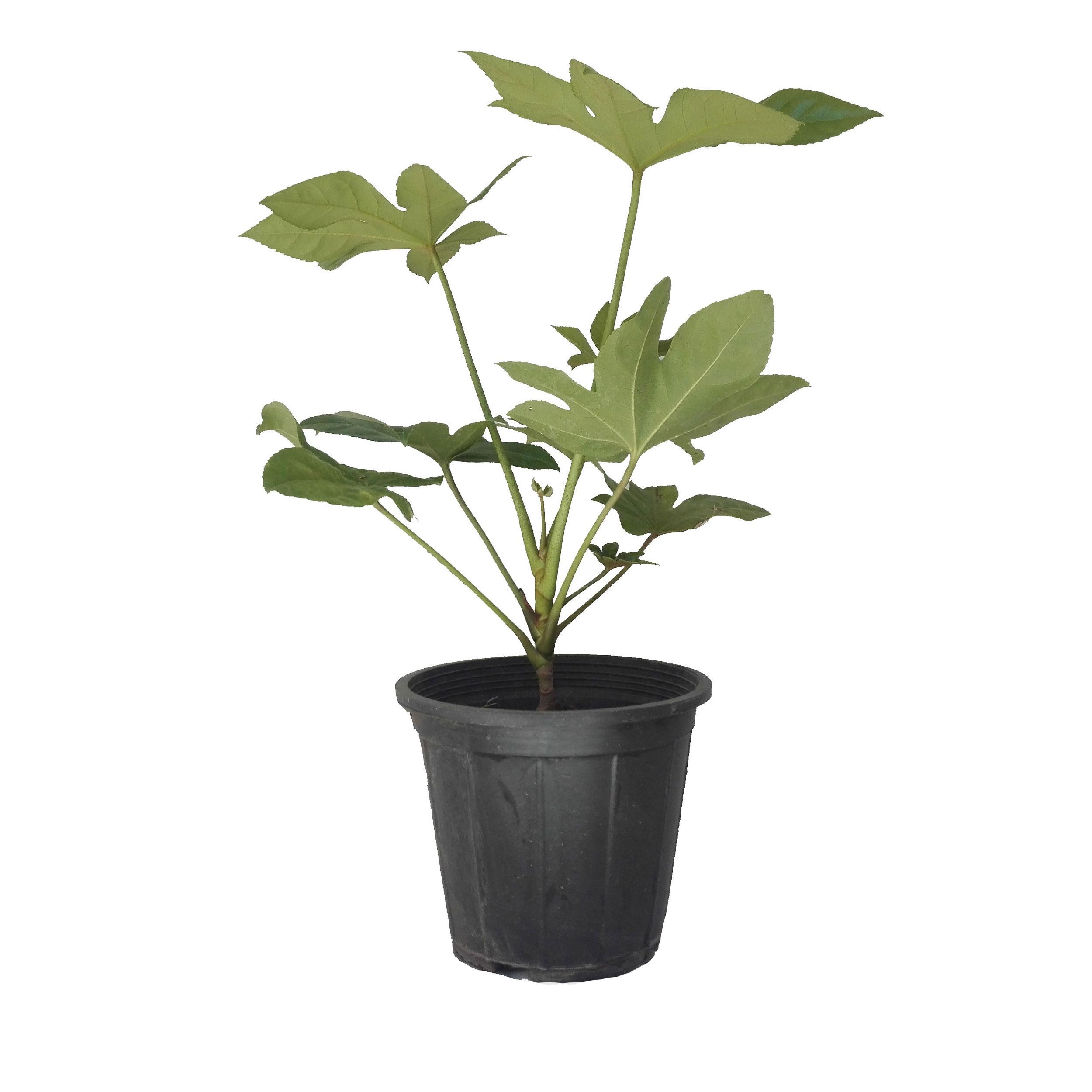 گل طبیعی آرالیا سبز کد 107