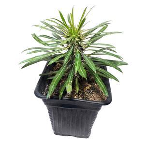 گیاه طبیعی نخل ماداگاسکار کد 2- AS