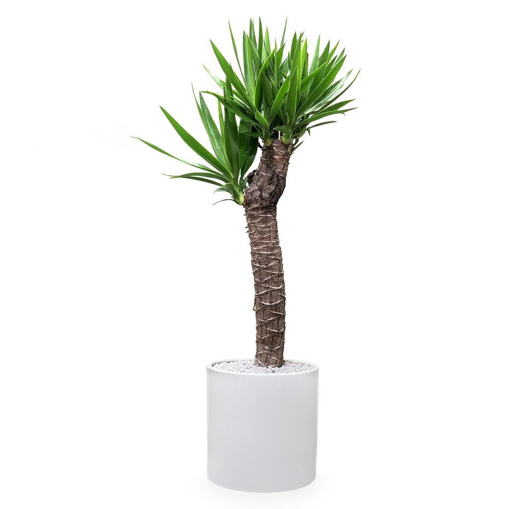 گیاه طبیعی یوکا گلیتال مدل GTL110