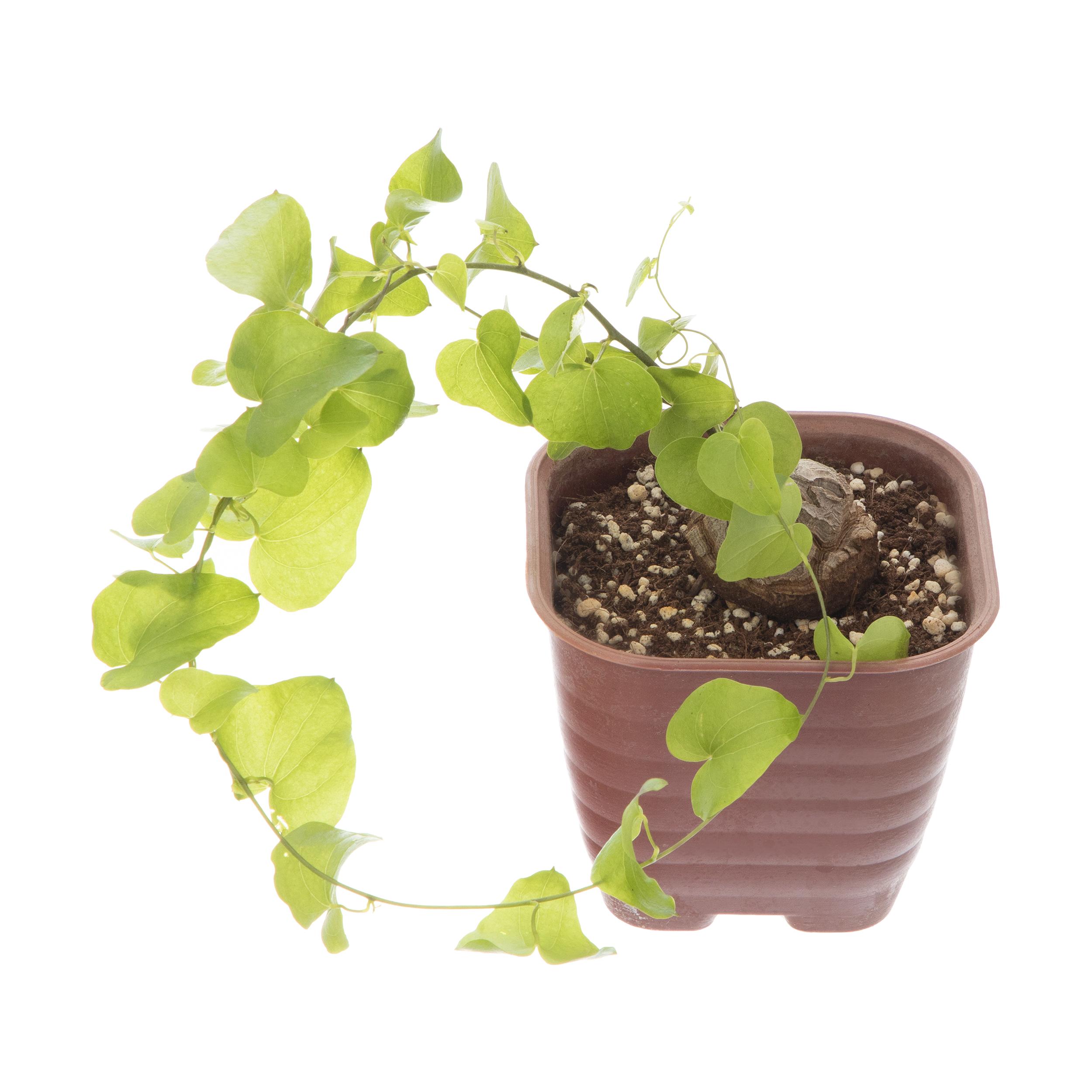 گل طبیعی دسیکوریا مدل 38