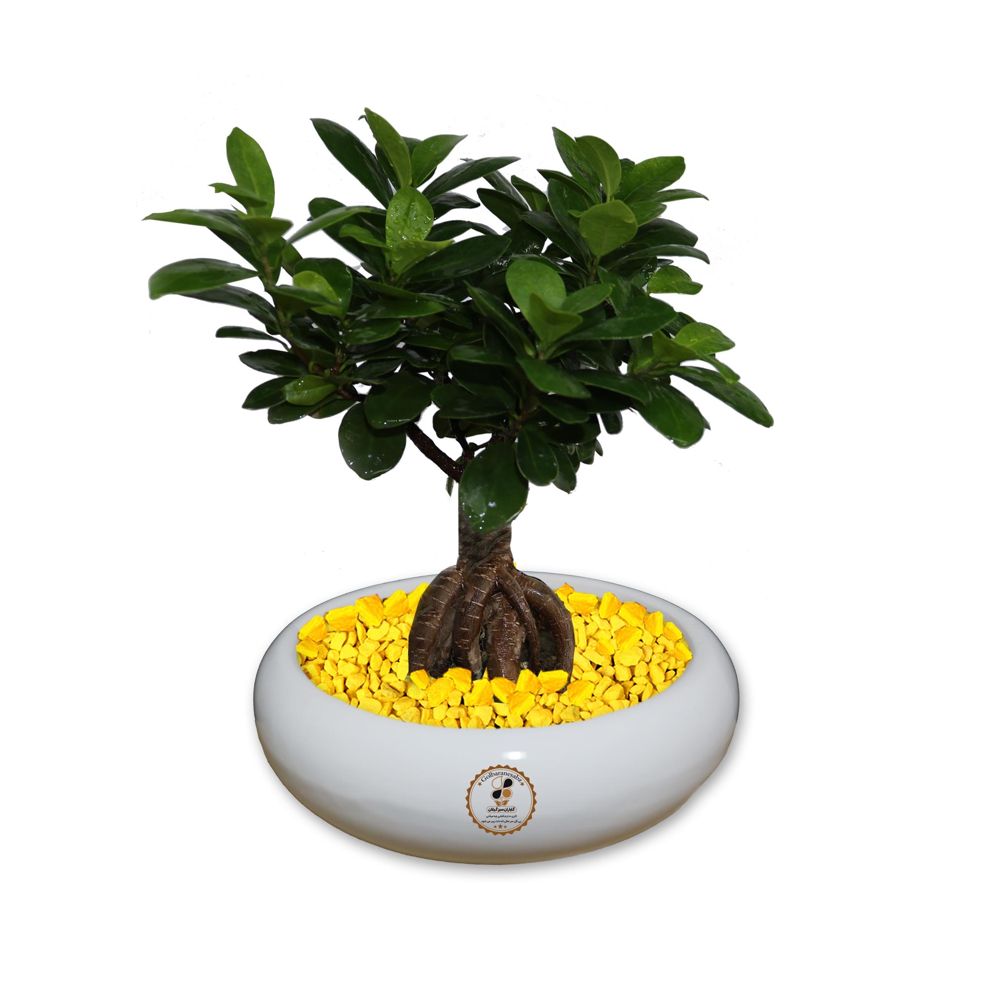 گیاه طبیعی بونسای فیکوس جینسینگ ، رتوزا گلباران سبز گیلان مدل GNB1-FG2