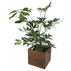 گیاه طبیعی شفلرا ناردونه کد  AB - L01
