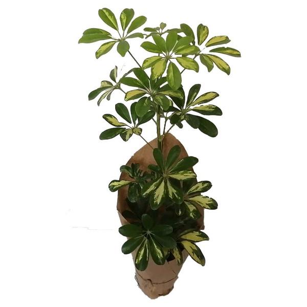 گیاه طبیعی شفلرا ابلق کد qq11