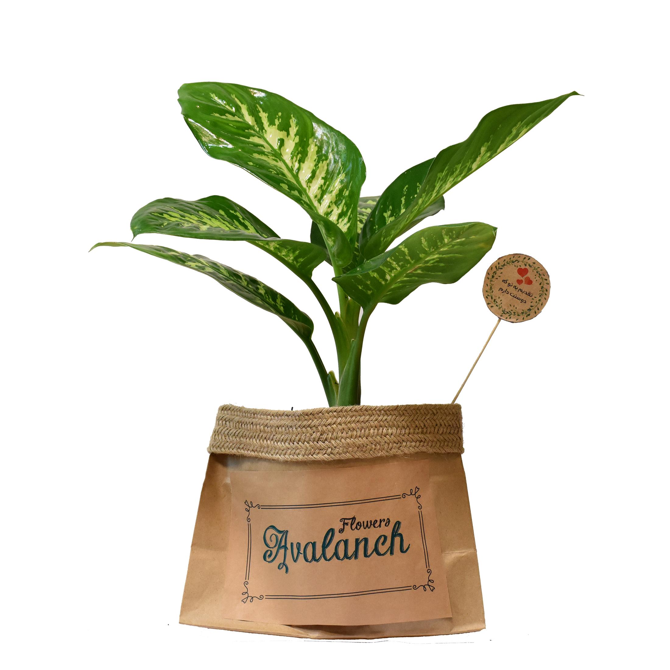 گیاه طبیعی دیفن باخیا کد P.A.018