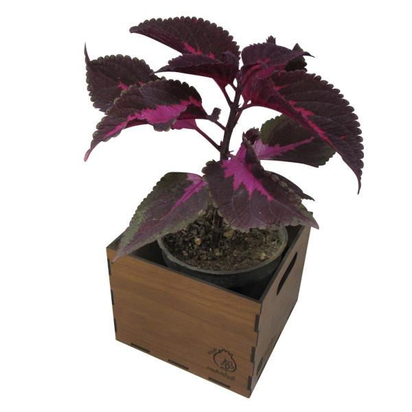 گیاه طبیعی حسن یوسف ناردونه کد  GH - M01