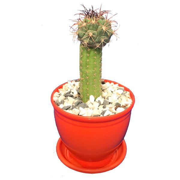 گیاه طبیعی کاکتوس ژمینو بورچی مدل A2