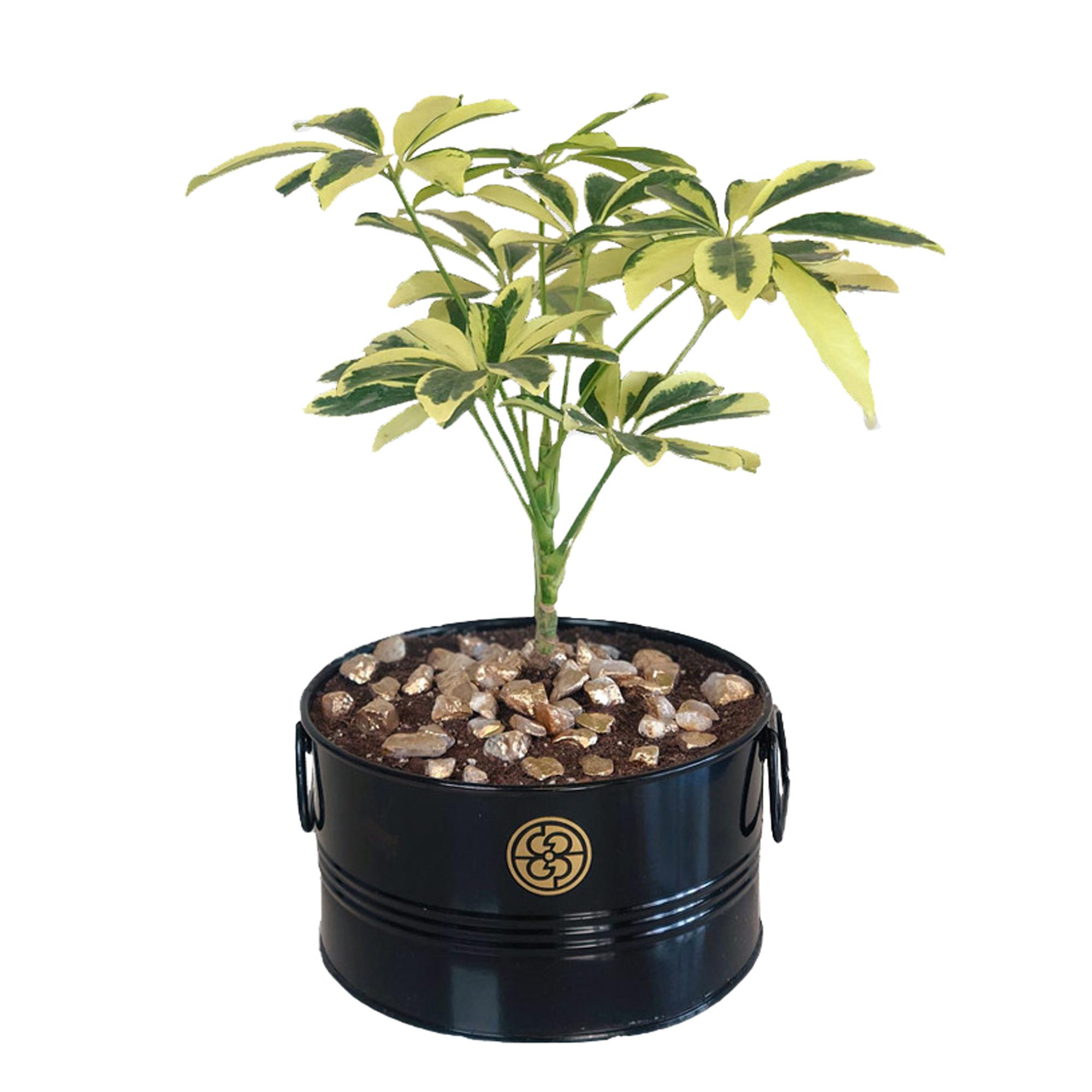 گیاه طبیعی شفلرا ابلق گل گیفت کد GP006