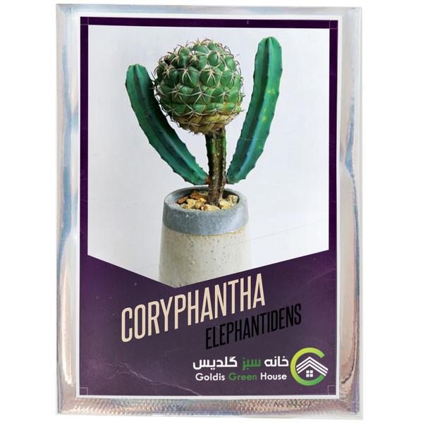 بذر کاکتوس کوریفانتا الفانتیدنس خانه سبز گلدیس کد 22