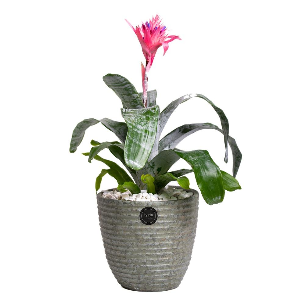 گیاه طبیعی اکمیا بنیس فلاور مدل P-32
