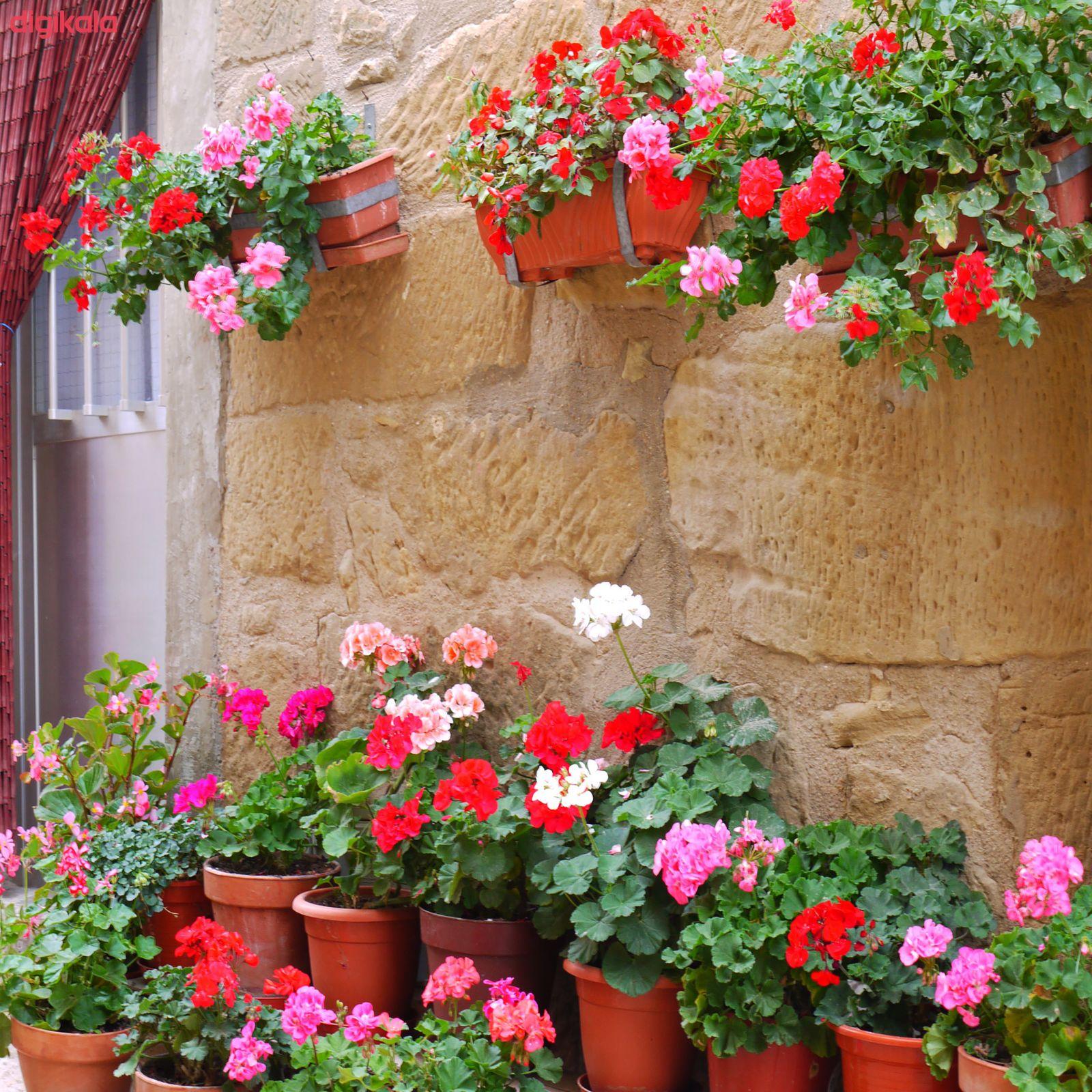 بذر گل شمعدانی پاکوتاه الوان وانیا سید مدل N76 main 1 4