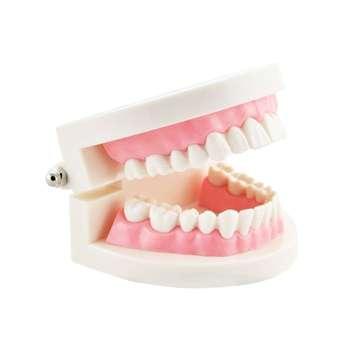 بازی آموزشی مدل مولاژ دندان انسان کد A017