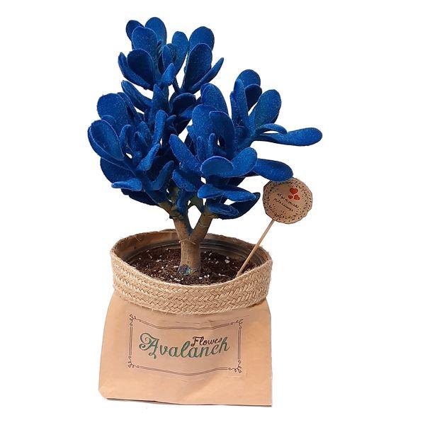 گیاه طبیعی کراسولا آبی کد P.A.022