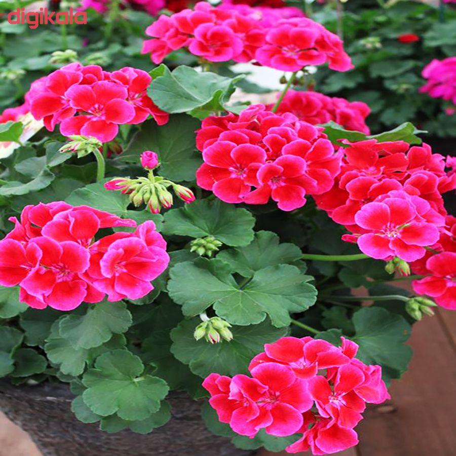 بذر گل شمعدانی پاکوتاه الوان وانیا سید مدل N76 main 1 6