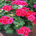 بذر گل شمعدانی پاکوتاه الوان وانیا سید مدل N76 thumb 6